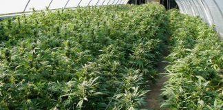 marijuana 1